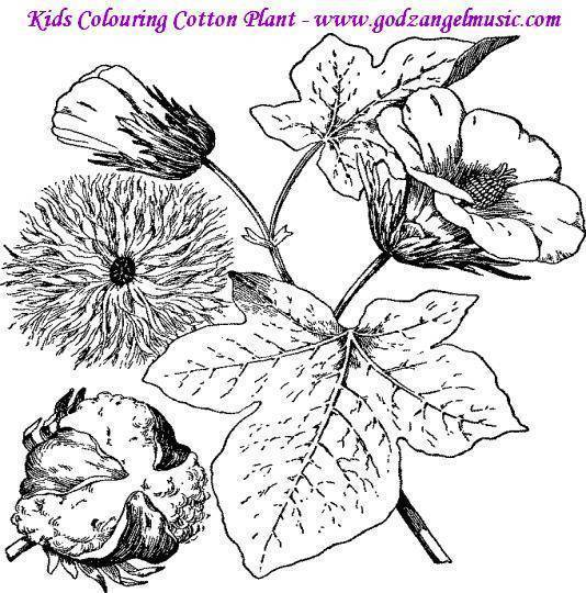 Cotton Plant Coloring Page Sketch Coloring Page Cotton Coloring Sheet